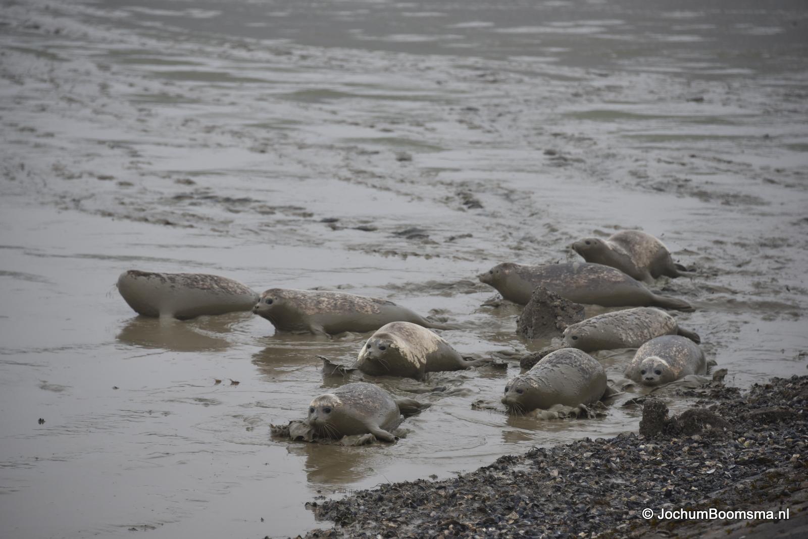 Vrijlaten zeehonden Waddenzee