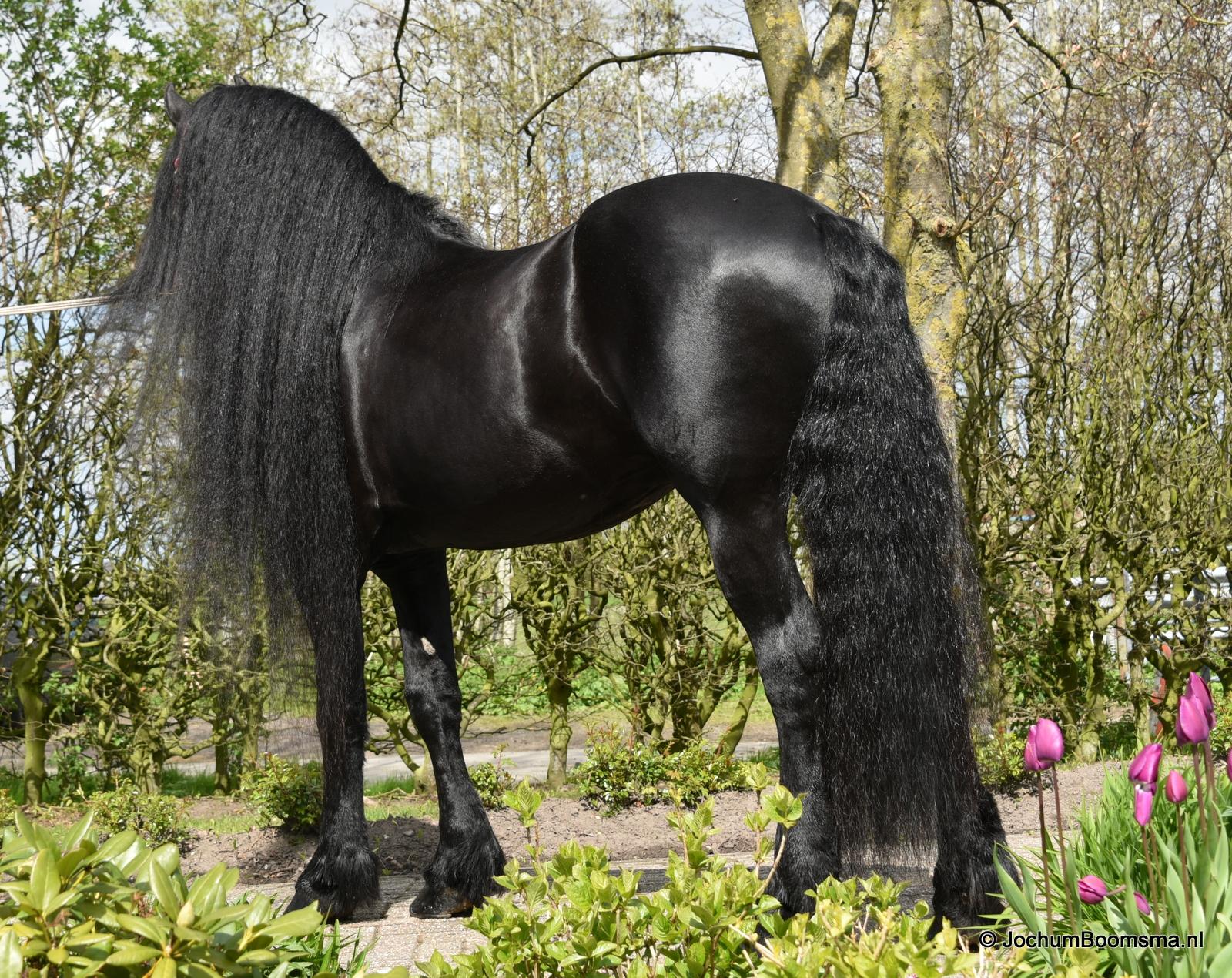 Friese paarden pieter wijbenga